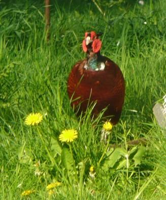 Fatter Mr Pheasant 1