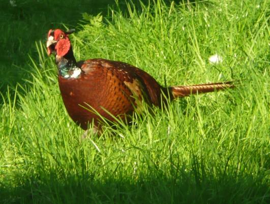 Fatter Mr Pheasant 2